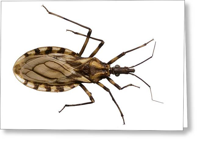 Brasiliensis Greeting Cards - Triatomine bug Greeting Card by Science Photo Library
