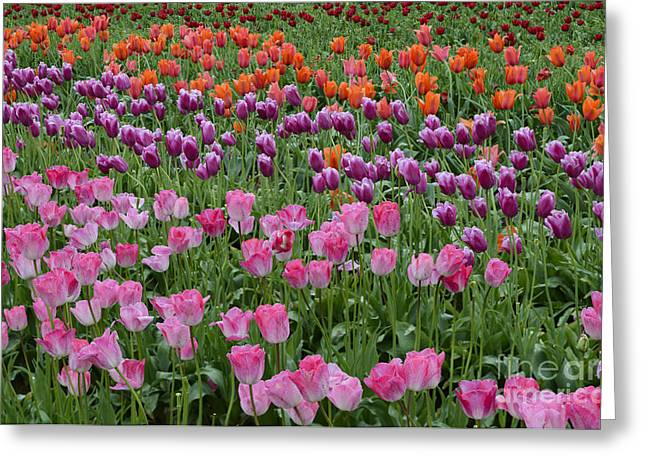 Woodburn Greeting Cards - Tulip Field Greeting Card by John Shaw