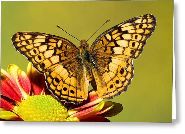 Duval County Greeting Cards - Variegated Fritillary Greeting Card by Millard H Sharp