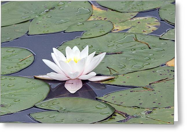 Water Lilly Greeting Cards - Water lily in the pond Greeting Card by Odon Czintos