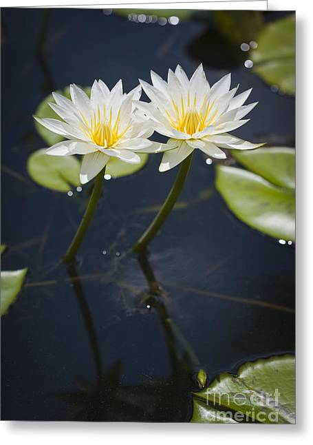 Florida Flowers Greeting Cards - Water Lily Greeting Card by Juan  Silva
