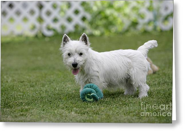 Westie Pup Greeting Cards - West Highland White Terrier Greeting Card by Rolf Kopfle