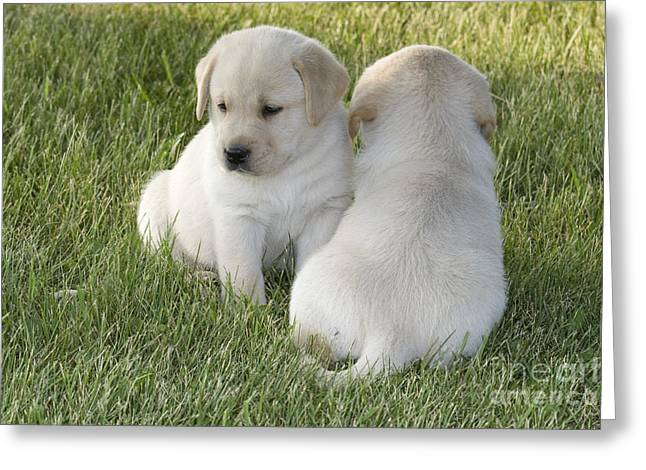 Yellow Labrador Puppy Greeting Card by Linda Freshwaters Arndt