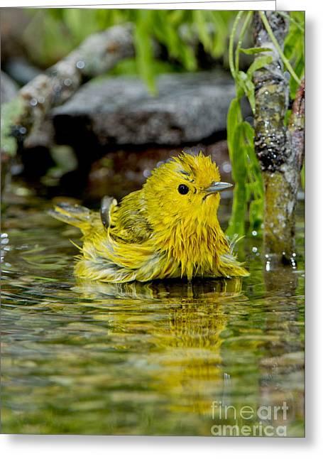 Yellow Warbler Greeting Cards - Yellow Warbler Greeting Card by Anthony Mercieca