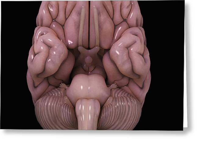 Cerebral Hemisphere Greeting Cards - Human Brain Greeting Card by Science Picture Co