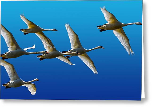 Synchronous Greeting Cards - Mute Swans Greeting Card by Brian Stevens