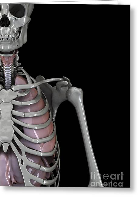 Respiratory Greeting Cards - Bones Of The Upper Body Greeting Card by Science Picture Co