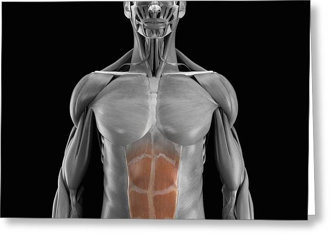 Skeletal Muscle Greeting Cards - Abdominal Muscles Greeting Card by Science Picture Co