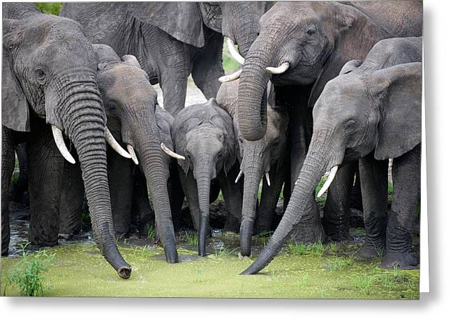 Animal Family Greeting Cards - African Elephants Loxodonta Africana Greeting Card by Panoramic Images