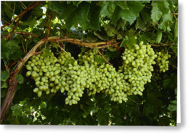 Grapevine Leaf Greeting Cards - Agriculture - Mature, Harvest Ready Greeting Card by Ed Young