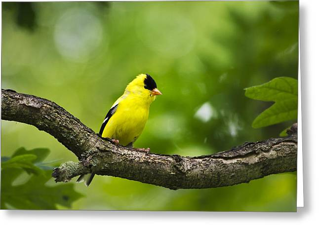 Canary Yellow Greeting Cards - American Goldfinch-4 Greeting Card by Christina Rollo