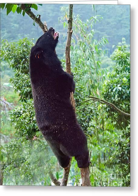 Black Bear Climbing Tree Greeting Cards - Asian Black Bear Greeting Card by Mark Newman