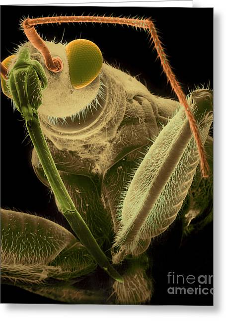 Scanning Electron Micrograph Greeting Cards - Assassin Bug Greeting Card by David M. Phillips