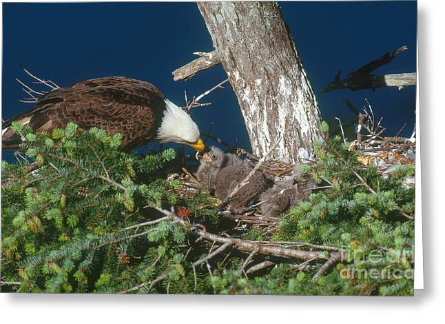 Eagle Greeting Cards - Bald Eagle Greeting Card by Art Wolfe