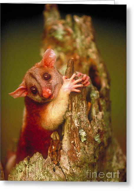Possum Greeting Cards - Bare-tailed Woolly Opossum Greeting Card by Art Wolfe
