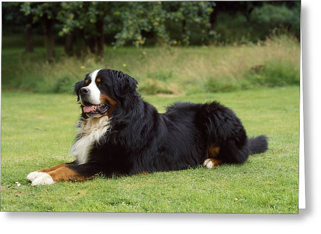 Breeds Greeting Cards - Bernese Mountain Dog Greeting Card by John Daniels