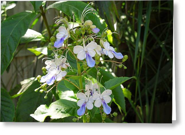 Photography Galleries On Line Greeting Cards - Blue Butterfly Bush Greeting Card by Ron Davidson