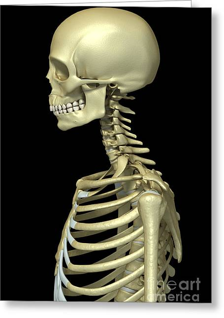 Frontal Bones Greeting Cards - Bones Of The Upper Body Greeting Card by Science Picture Co