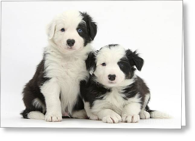 House Pet Greeting Cards - Border Collie Pups Greeting Card by Mark Taylor