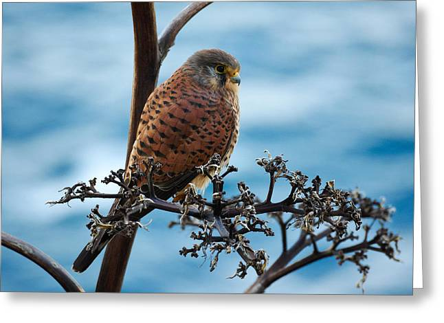 Ocean Photography Greeting Cards - Canarian Kestrel Greeting Card by Jouko Lehto