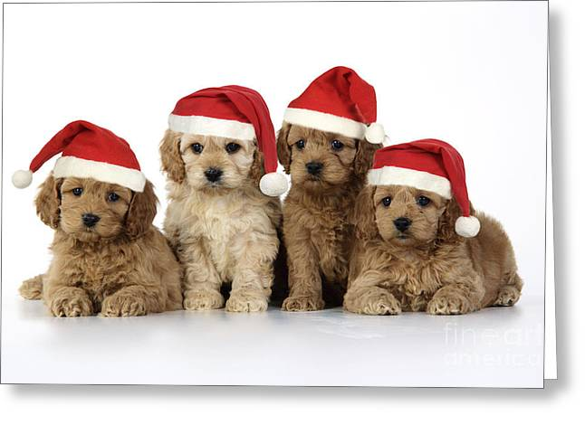 Cross Breed Greeting Cards - Cockapoo Puppy Dogs Greeting Card by John Daniels
