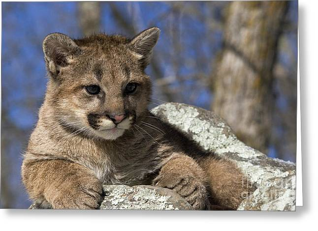 Puma Concolor Greeting Cards - Cougar Cub Greeting Card by Linda Freshwaters Arndt