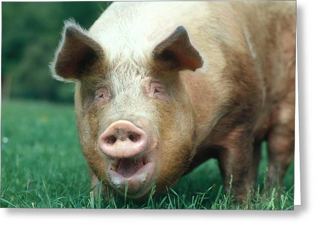Barn Yard Greeting Cards - Domestic Pig Greeting Card by Hans Reinhard