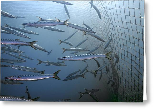 Netting Greeting Cards - European barracuda Greeting Card by Science Photo Library