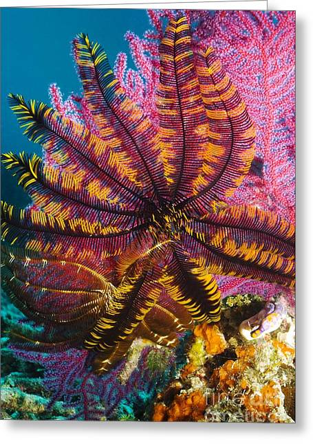 Indonesian Wildlife Greeting Cards - Featherstar On Gorgonian Coral Greeting Card by Georgette Douwma