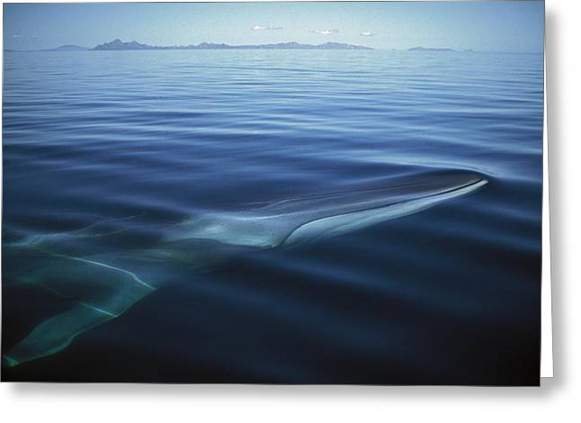 Razorbacks Photographs Greeting Cards - Fin Whale In Sea Of Cortez Greeting Card by Tui De Roy