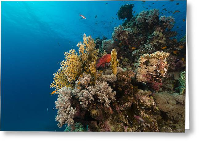 Aquatic Greeting Cards - Fish and tropical reef in the Red Sea. Greeting Card by Stephan Kerkhofs