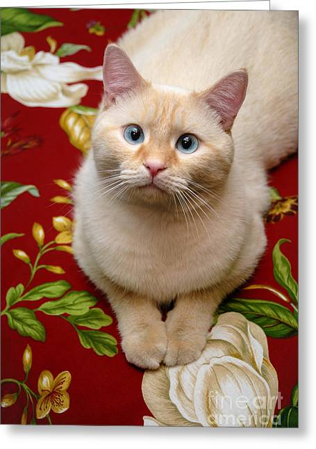 Domestic Shorthair Greeting Cards - Flame Point Siamese Cat Greeting Card by Amy Cicconi