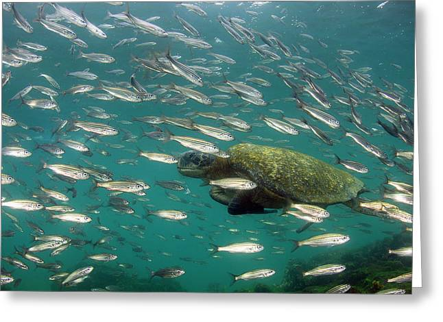 Galapagos Green Sea Turtle (chelonia Greeting Card by Pete Oxford