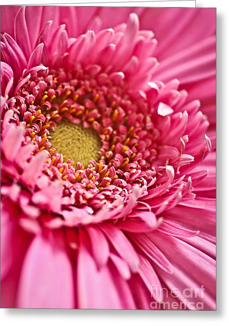 Botany Greeting Cards - Gerbera flower Greeting Card by Elena Elisseeva