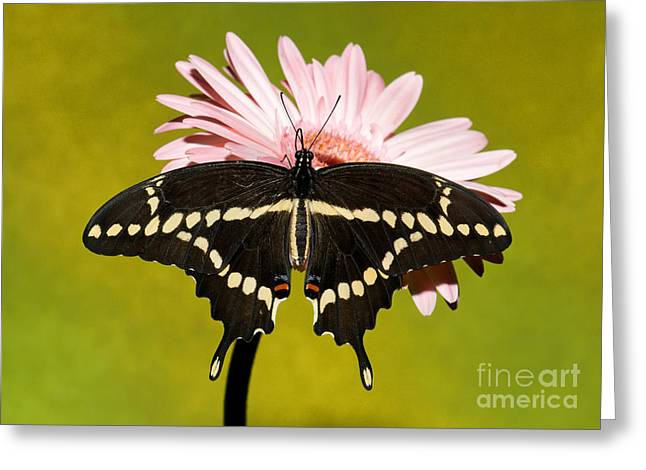 Duval County Greeting Cards - Giant Swallowtail Butterfly Greeting Card by Millard H. Sharp