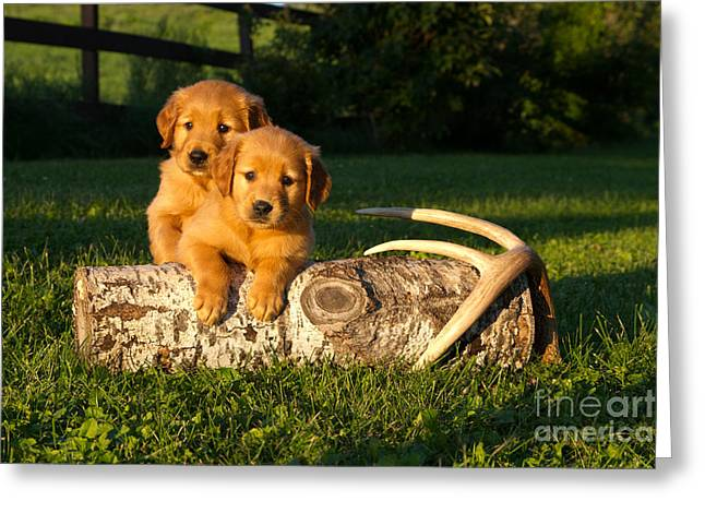 Golden Retriever Puppies Greeting Card by Linda Freshwaters Arndt