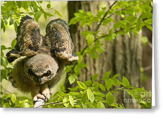 Animal Photography Greeting Cards - Great Horned Owlet Greeting Card by Michael Cummings