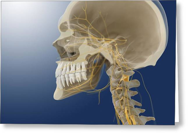 Maxilla Greeting Cards - Human skull, artwork Greeting Card by Science Photo Library