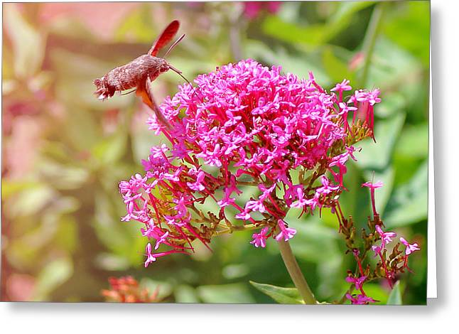 Butterfly In Motion Greeting Cards - Hummingbird Hawk-moth on Valerian flower Greeting Card by Gregory DUBUS