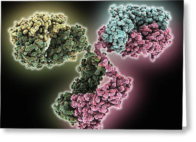 Light Chains Greeting Cards - Immunoglobulin G antibody molecule Greeting Card by Science Photo Library