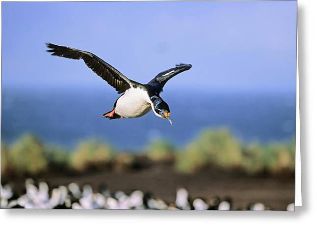 Imperial Shag Or King Shag Greeting Card by Martin Zwick