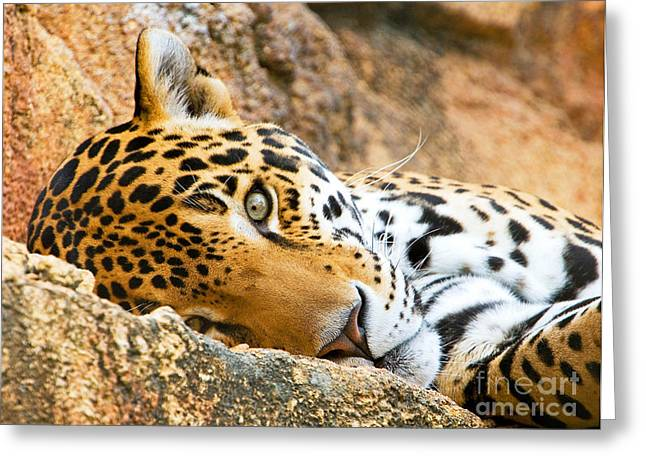 Rosette Greeting Cards - Jaguar Greeting Card by Millard H. Sharp