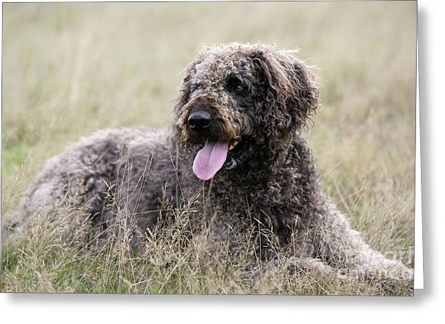 Mixed Labrador Retriever Greeting Cards - Labradoodle Dog Greeting Card by John Daniels