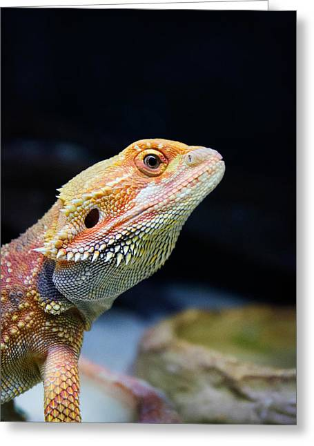 Cut-outs Greeting Cards - lizard Bearded Dragon Greeting Card by Celestial Images
