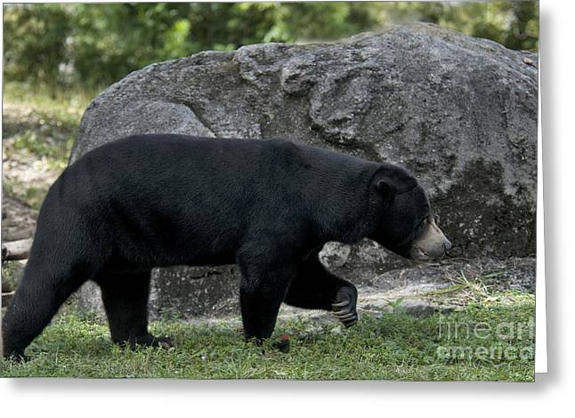 Sharp Claws Greeting Cards - Malayan Sun Bear Greeting Card by Mark Newman