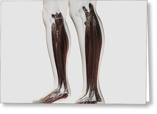 Flexor Digitorum Greeting Cards - Male Muscle Anatomy Of The Human Legs Greeting Card by Stocktrek Images
