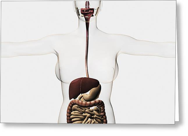 Medical Illustration Of The Human Greeting Card by Stocktrek Images