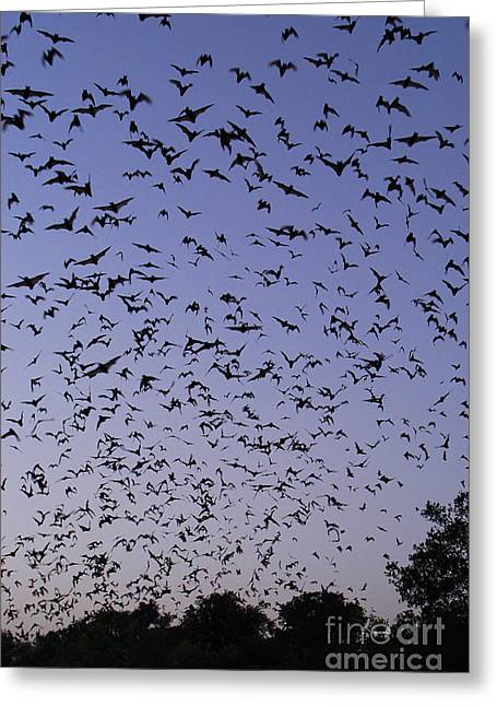 Brasiliensis Greeting Cards - Mexican Free-tailed Bats Greeting Card by Gregory G. Dimijian