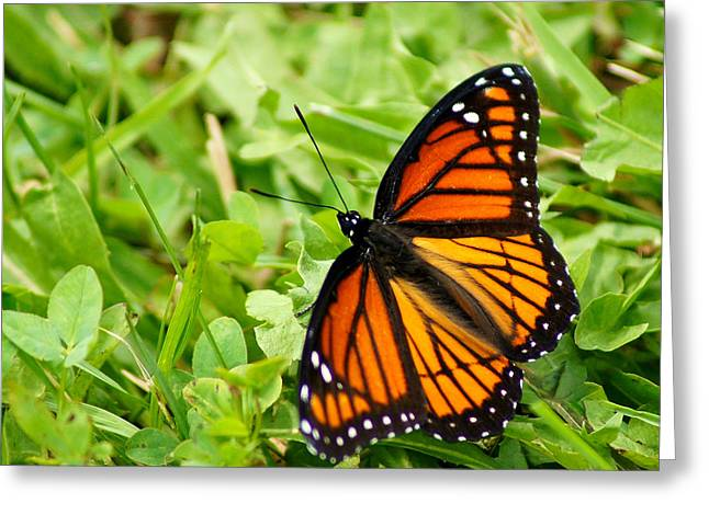 Best Sellers -  - Appleton Art Greeting Cards - Monarch Butterfly Greeting Card by Carol Toepke