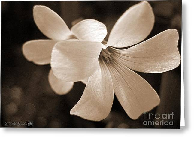 Mccombie Greeting Cards - Oxalis Triangularis or Burgundy Shamrock Greeting Card by J McCombie